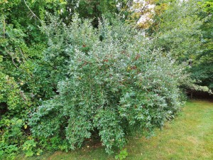 Autumn-olive-shrub