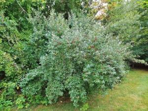 Autumn-olive-shrub