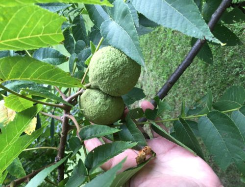 "Juglans Nigra – Eastern Black Walnut- ""a neglected gift of nature"""