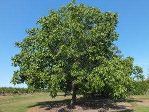 walnut_tree_1_FreeTiiuPix.com